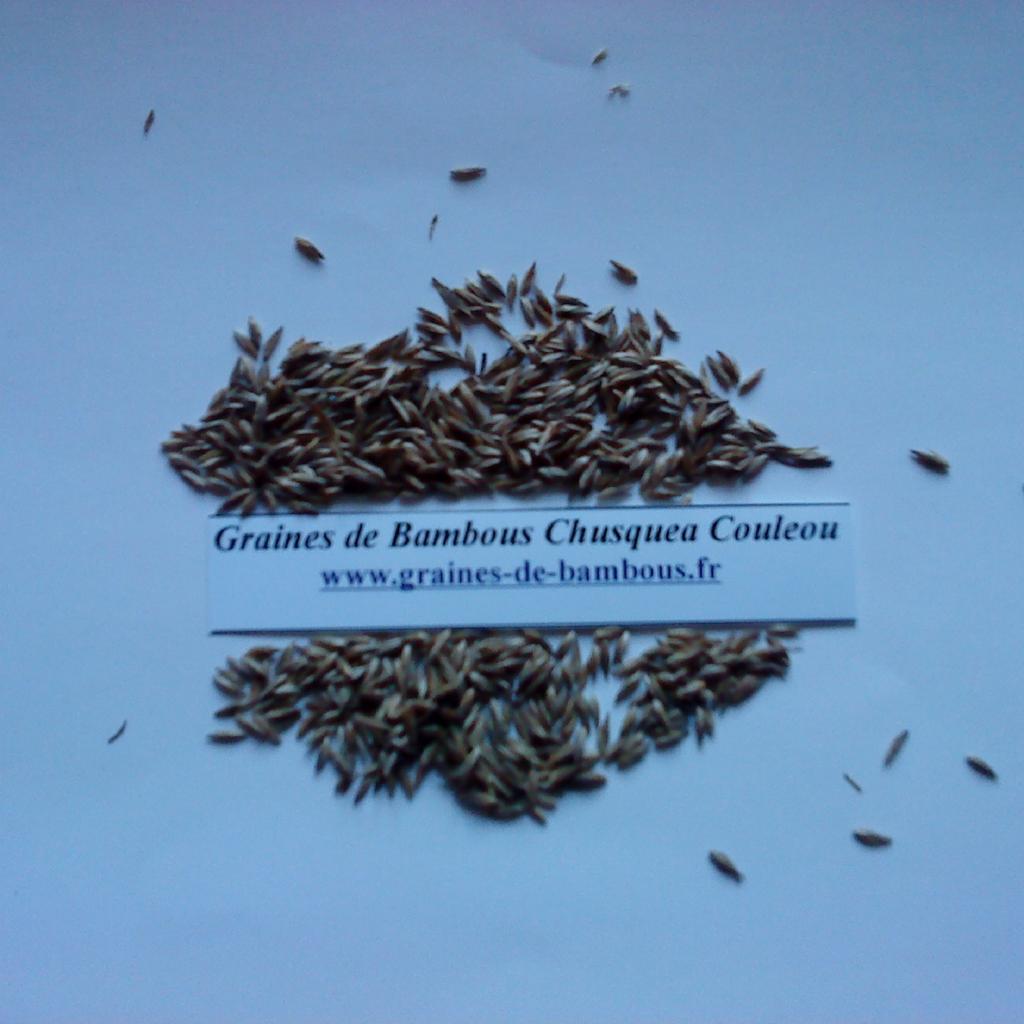 graines-chusquea-couleou-www-graines-de-bambous-fr.jpg