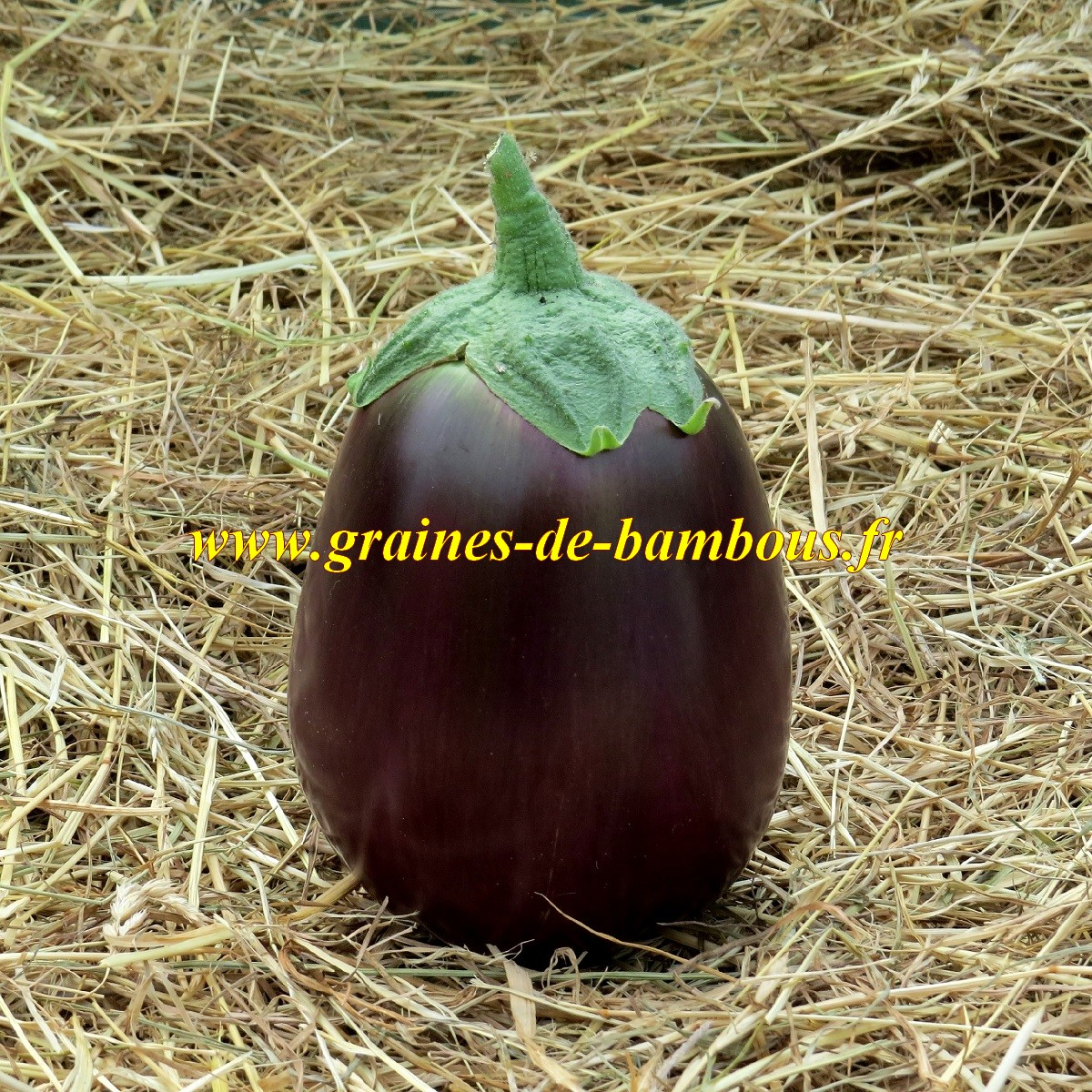 Graines d aubergine black beauty