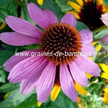 Graines d echinacea purpurea
