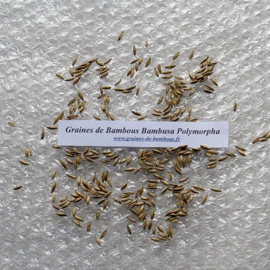 Graines de bambou bambusa polymorpha