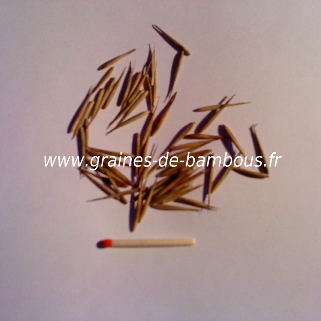 graines-de-bambou-geant-moso-29.jpg