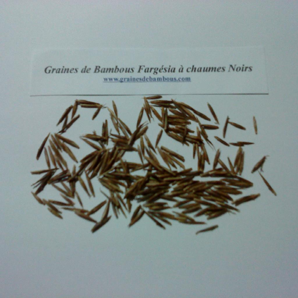 graines-de-bambous-fargesia-a-chaumes-noirs-www-graines-de-bambous-fr.jpg