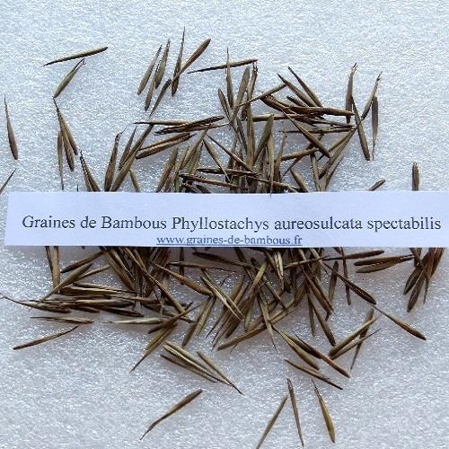 Graines de bambous ph aureosulcata spectabilis