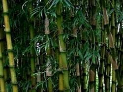 Graines de bambous