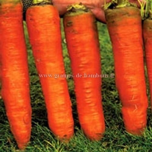 Graines de carotte de colmar ou flakkee