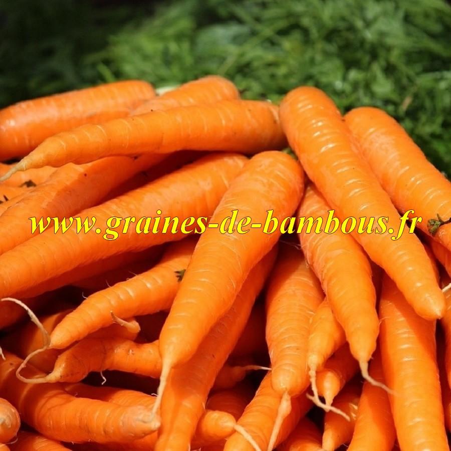 Graines de carotte variete saint valery
