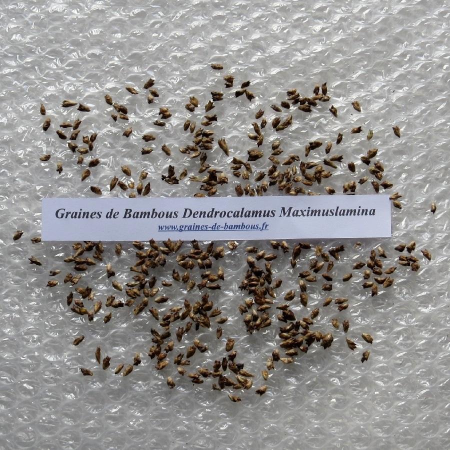 Graines de dendrocalamus maximuslamina