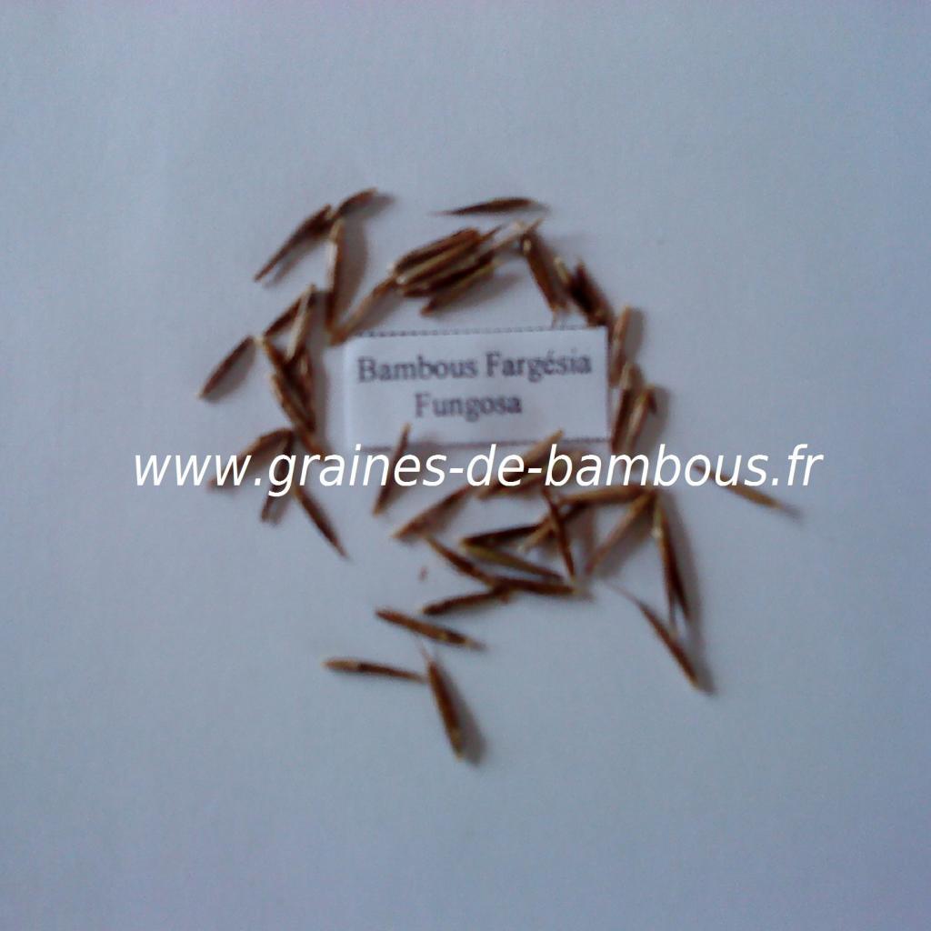 graines-de-fargesia-fungosa-11.jpg