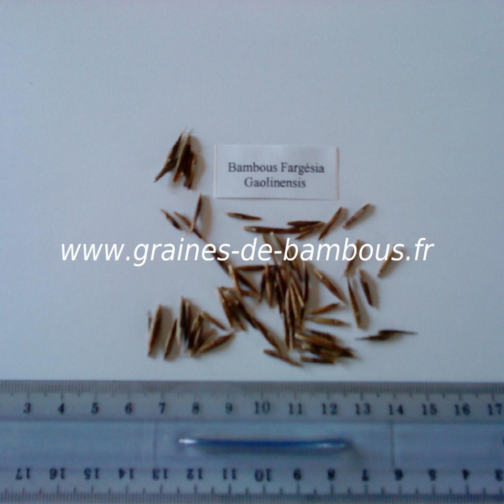 graines-de-fargesia-gaolinensis-7.jpg