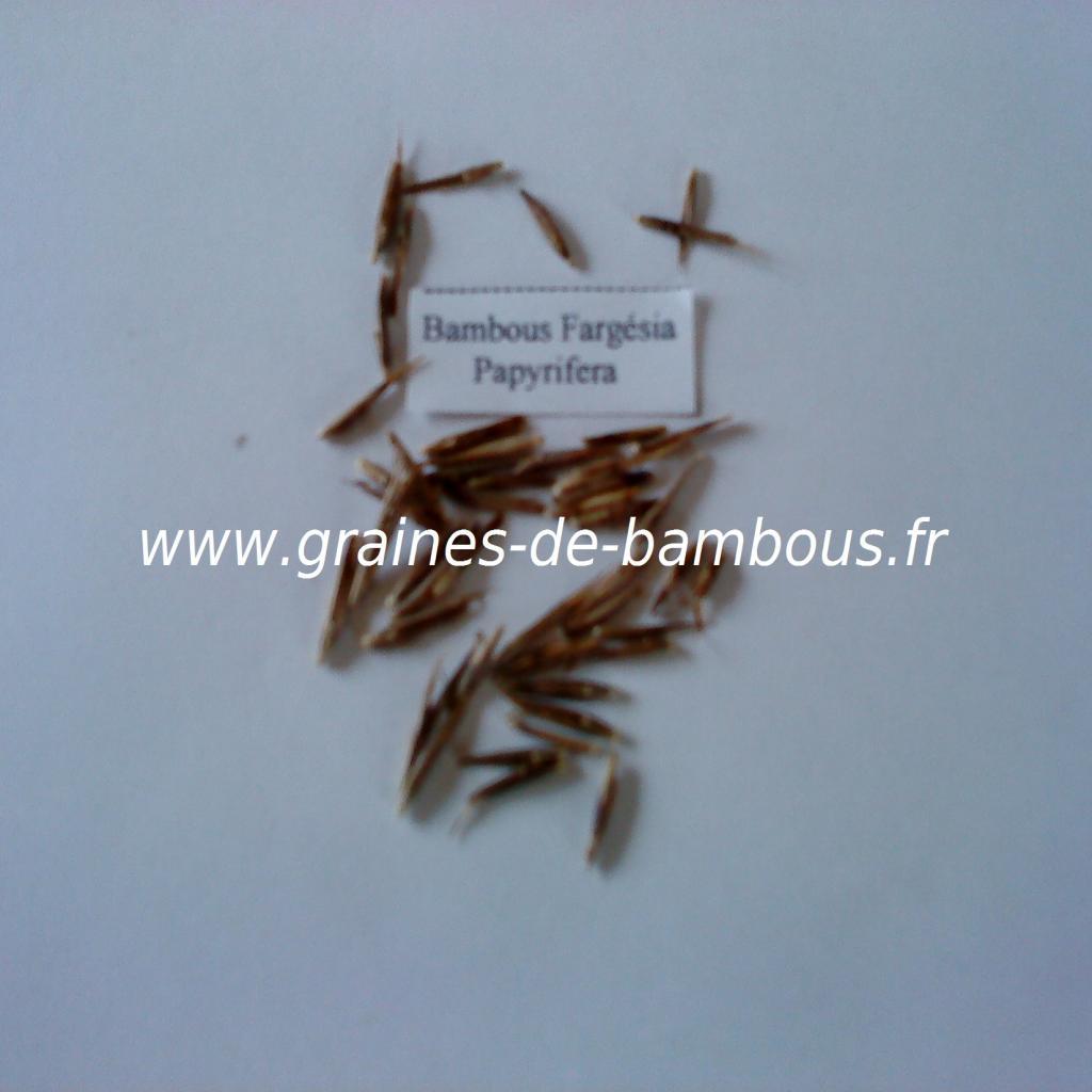 graines-de-fargesia-papyrifera-7.jpg