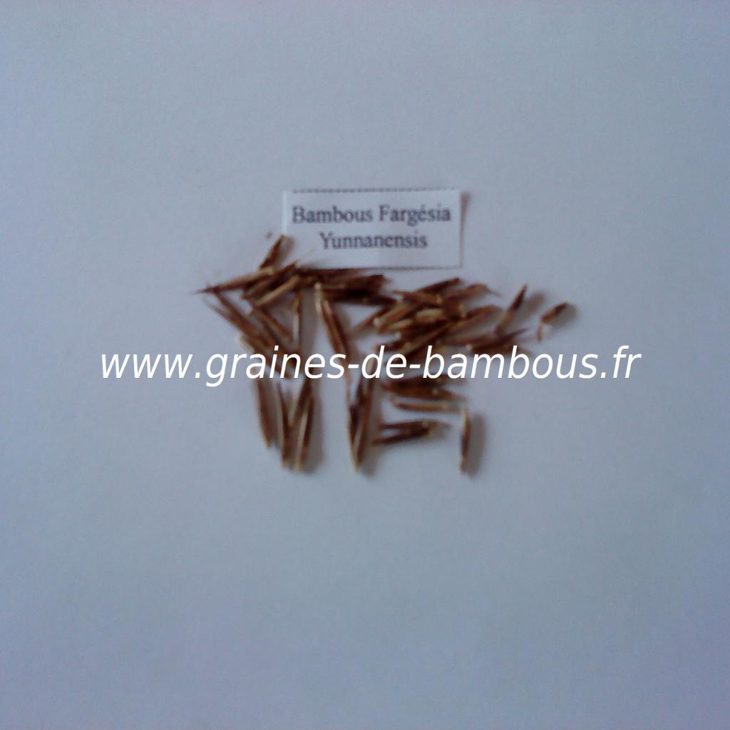 graines-de-fargesia-yunnanensis-9.jpg