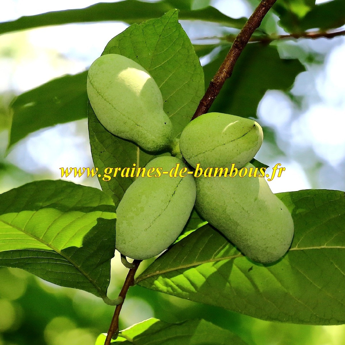 Graines de fruit asimine
