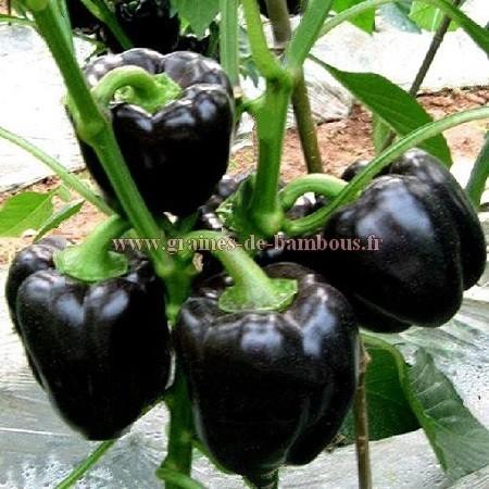 Graines de poivron noir