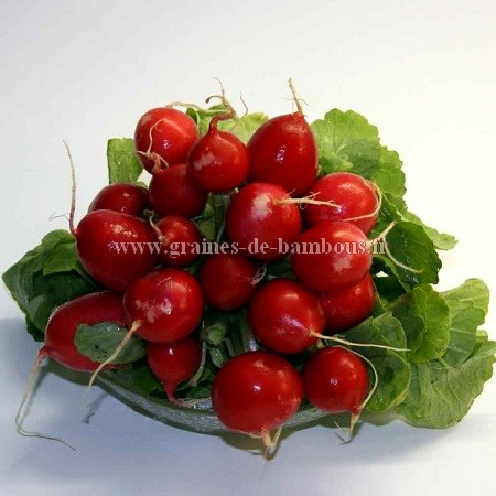 Graines de radis cherry belle