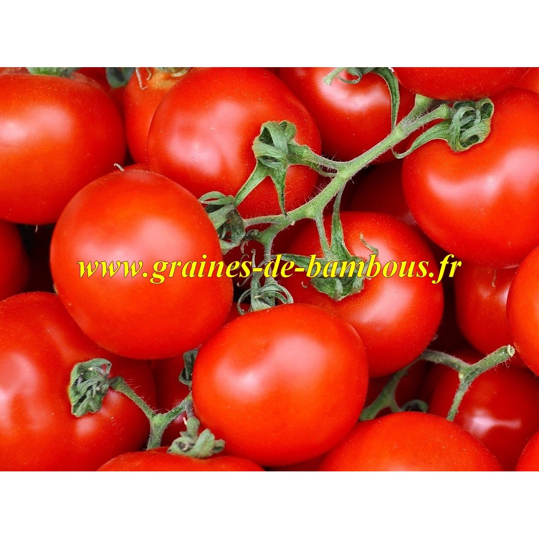 Graines de tomate de siberie ou siberian