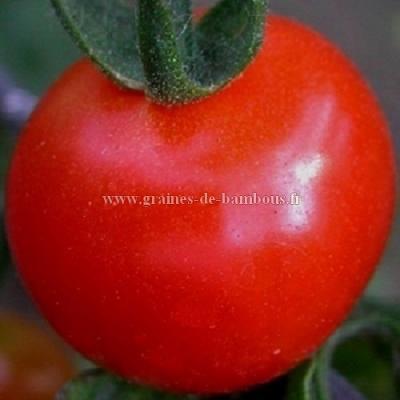 Tomate Glacier réf.605