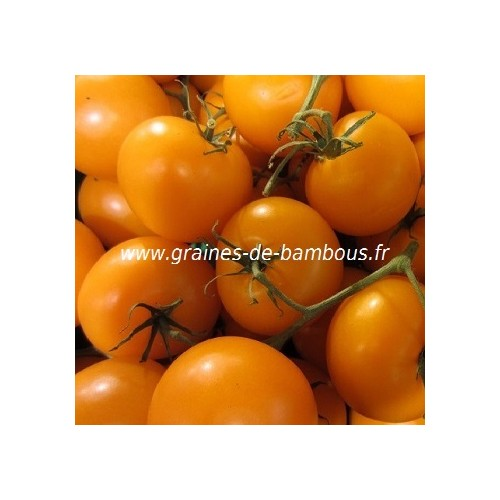 Graines de tomate golden jubilee