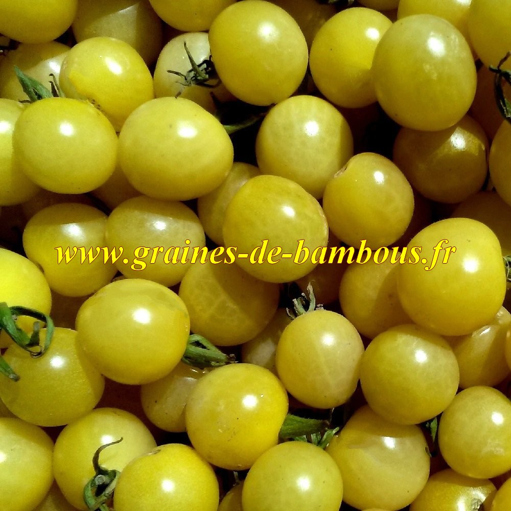 Graines de tomate lemon drop
