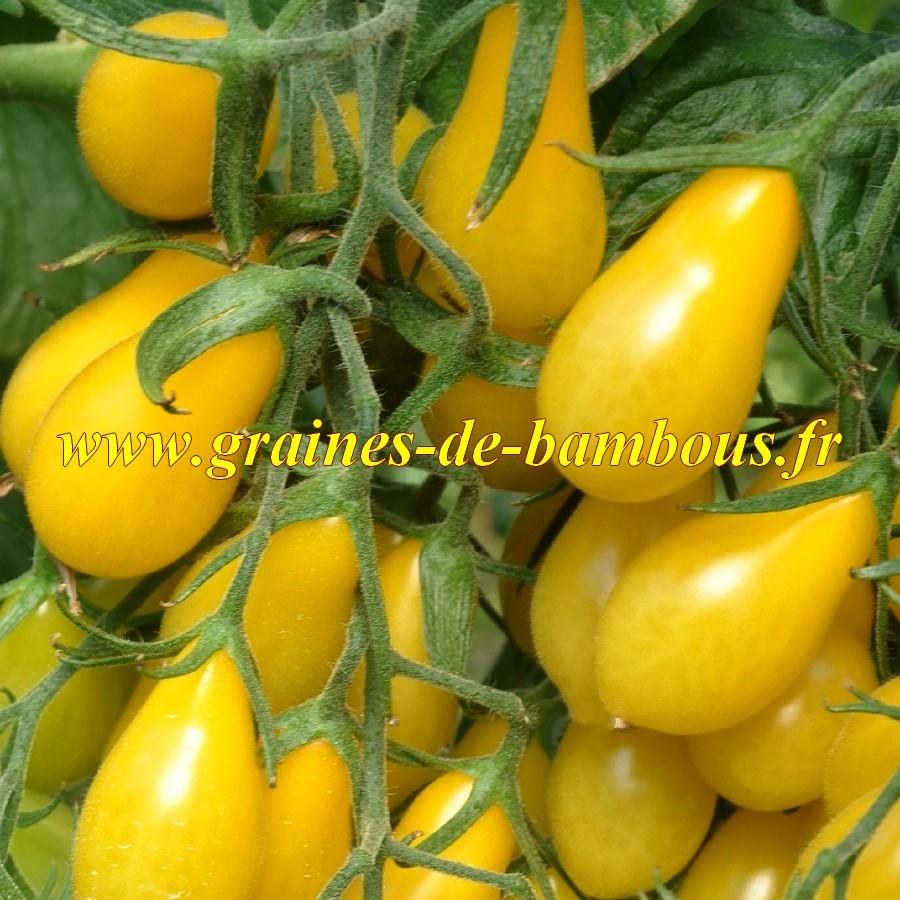 Graines de tomate poire cerise jaune