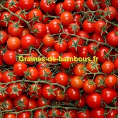 Tomate cerise Pokusa 1000 graines