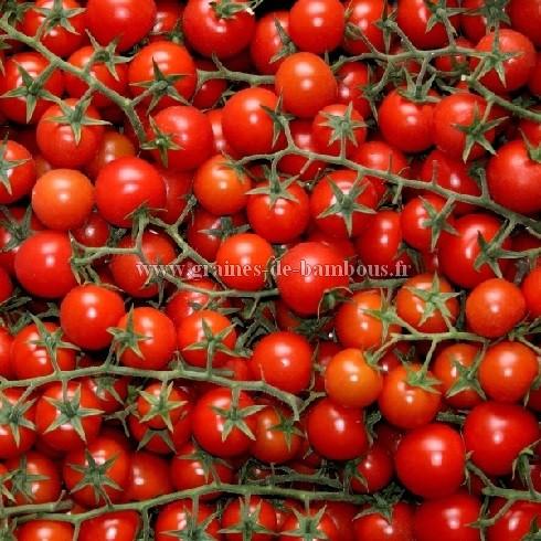 Graines de tomate pokusa