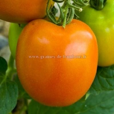 Tomate golden Sunray réf.689