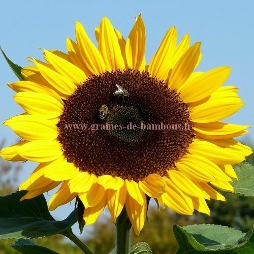 Tournesol Yellow giant réf.460