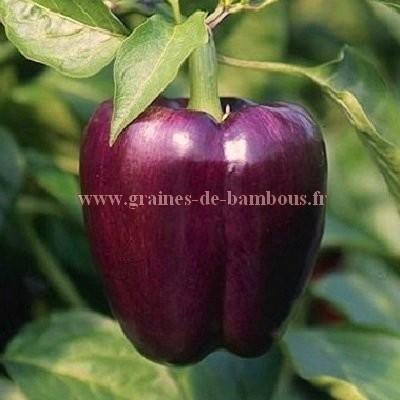 Poivron violet Oda réf.774