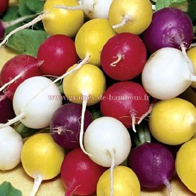 Radis variétés rondes couleurs mélangées réf.580