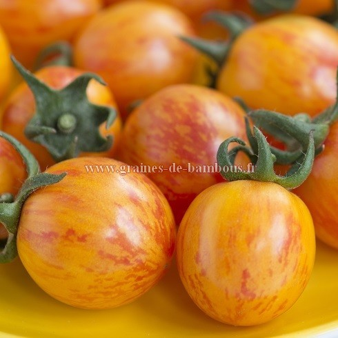 Graines tomate cerise golden