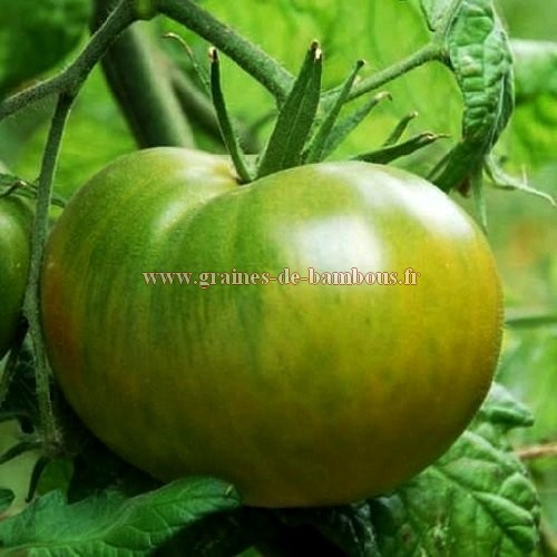 Graines tomate evergreen