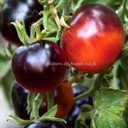 Graines tomate indigo rose