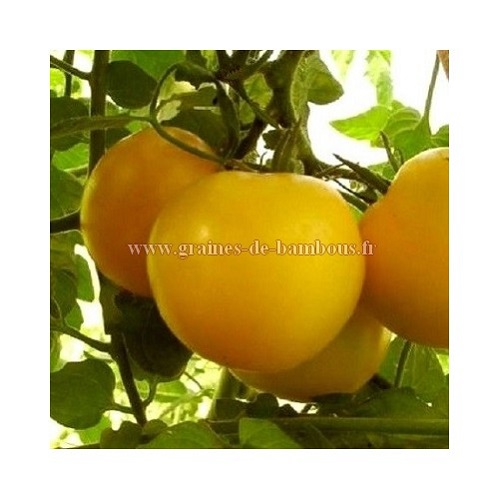 Graines tomate reine d or goldene konigin