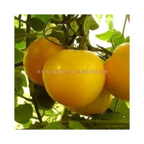 Graines tomate reine d or goldene konigin