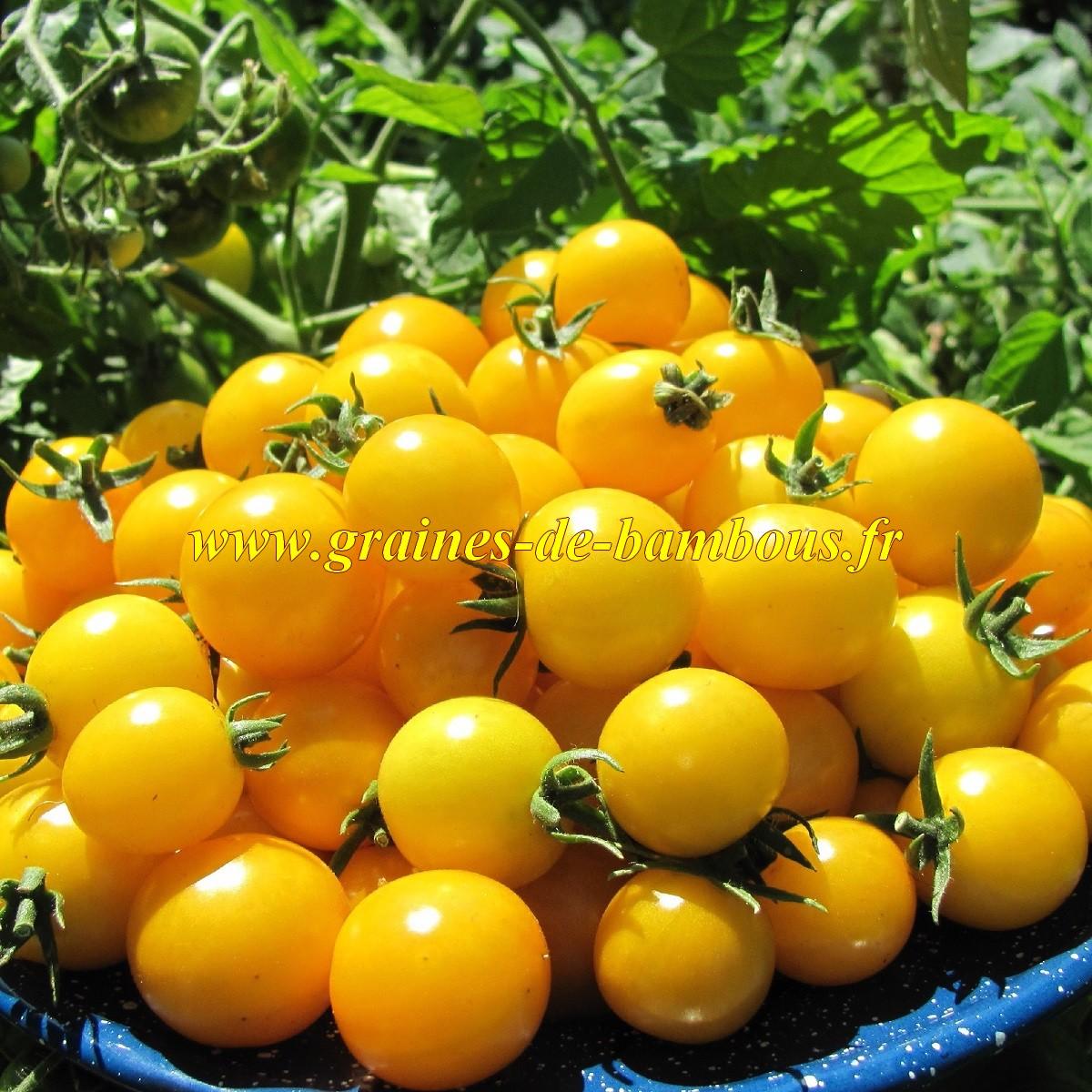 Graines tomate ronde golden cherry