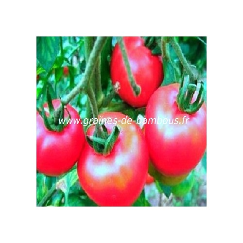 Graines tomate rose