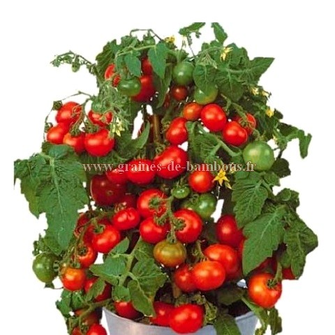 Graines tomate rotkappchen
