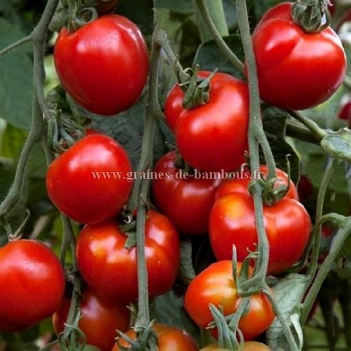 Graines tomate stupice