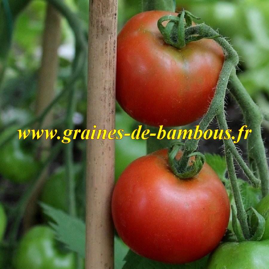 Graines tomate tamina
