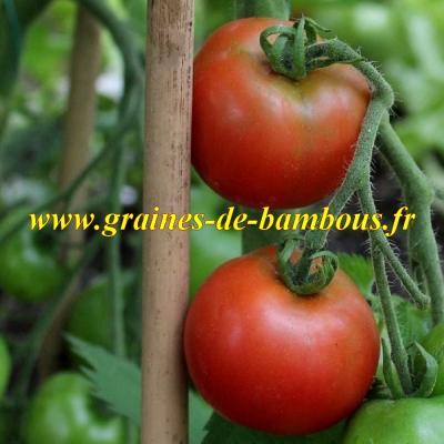 Tomate Tamina réf.472