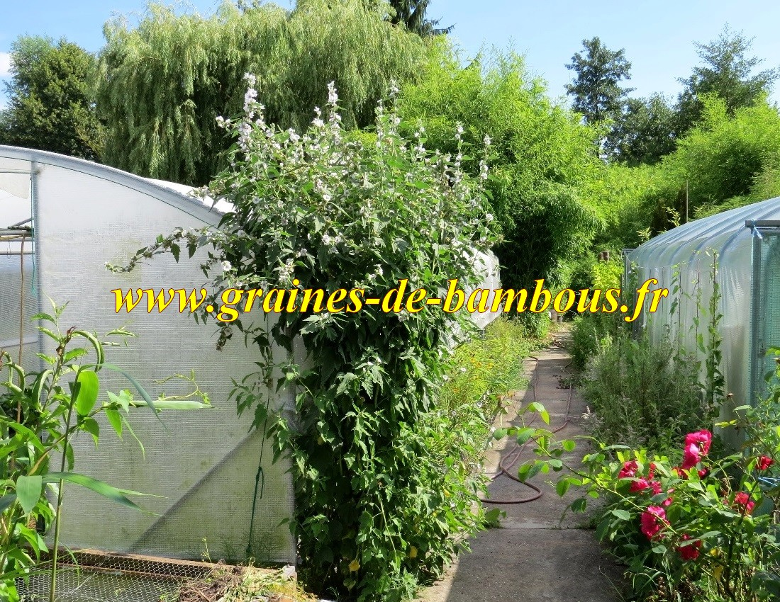 Guimauve du jardin