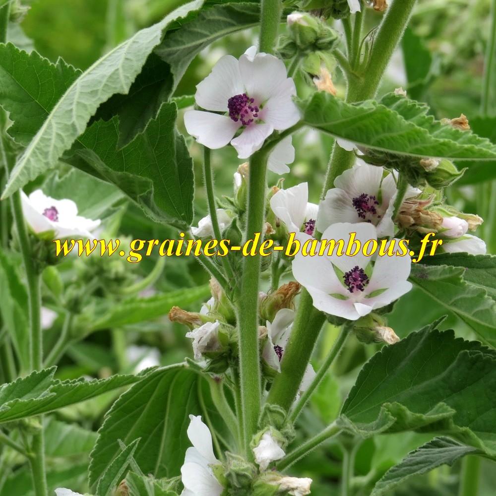 Guimauve en fleurs
