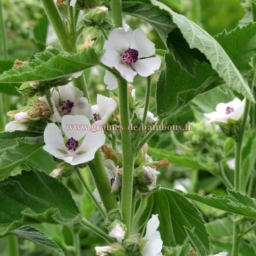 Guimauve fleurs
