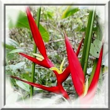 heliconia-farinosa-rouge-www-graines-de-bambous-fr-www-grainesdebambous-com.jpg