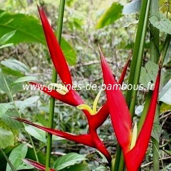 heliconia-farinosa-rouge-www-graines-de-bambous-fr.jpg