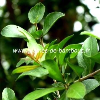 henne-feuilles-lawsonia-inermis-www-graines-de-bambous-fr.jpg