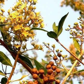 Henné arbre du paradis réf.522