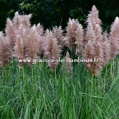 Herbe de la pampa rose graines de bambous 1