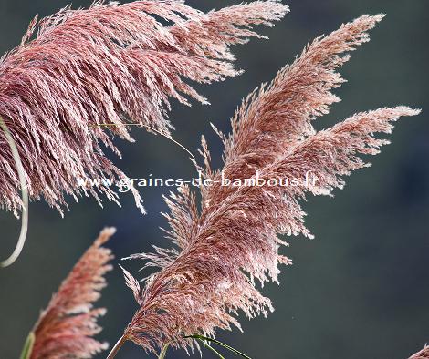 Herbe de la pampa rose graines de bambous 2