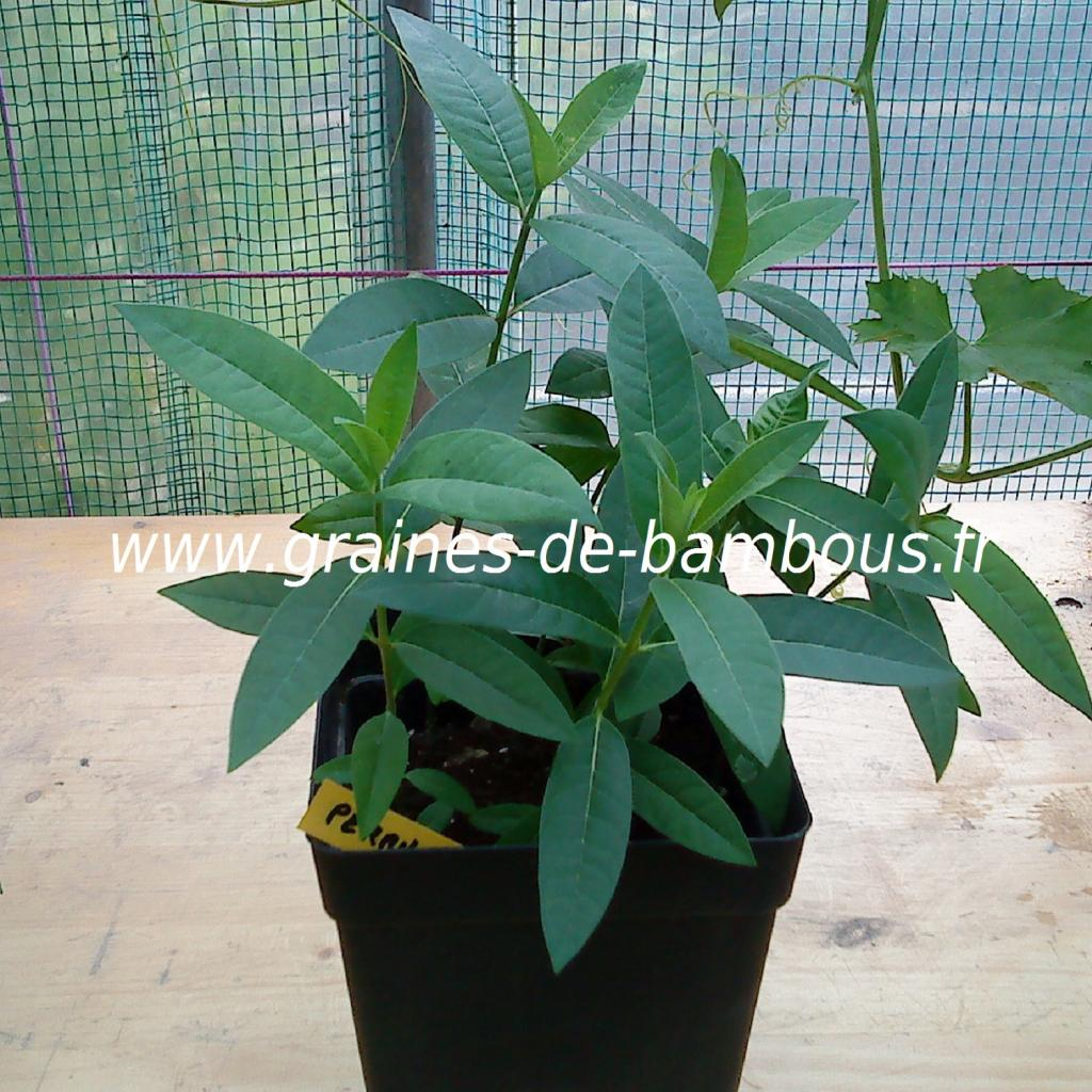 herbes-aux-perruches-asclepias-syriaca-petits-plants-www-graines-de-bambous-fr.jpg